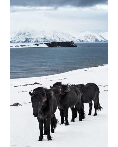 Chevaux islandais noirs à Husavik