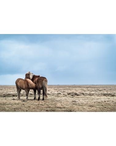 Jument islandaise et son poulain