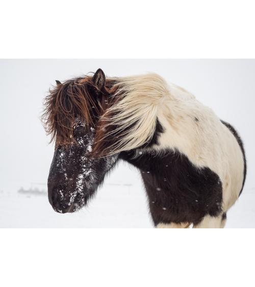 Cheval islandais dans la tempête