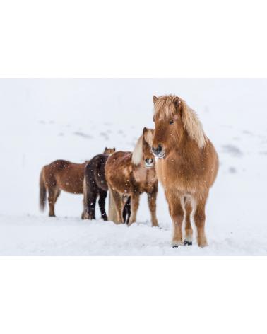 Chevaux islandais sous la neige