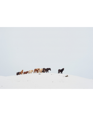 Harde de chevaux d'Islande