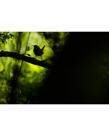Troglodyte mignon dans le Jura