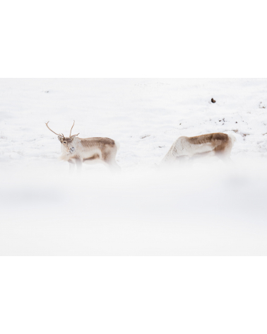 rennes sauvages en Islande