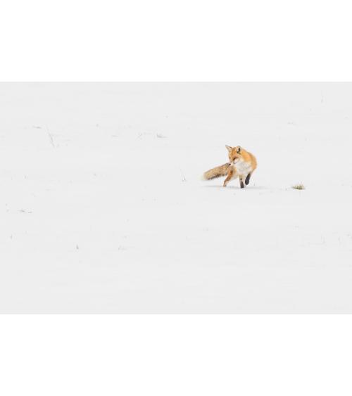 Renard roux sur la neige