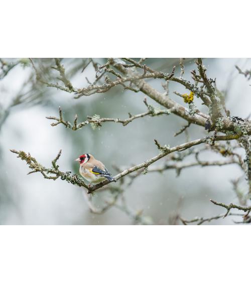 photo de chardonneret élégant dans le Jura