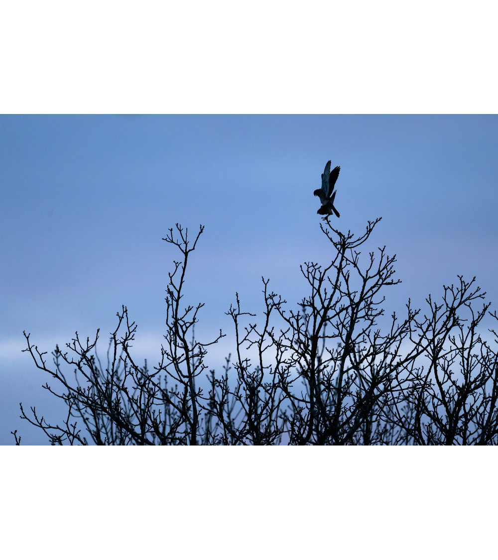accouplement de faucon crécerelle