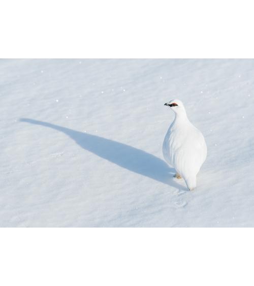 Lagopède alpin en Islande