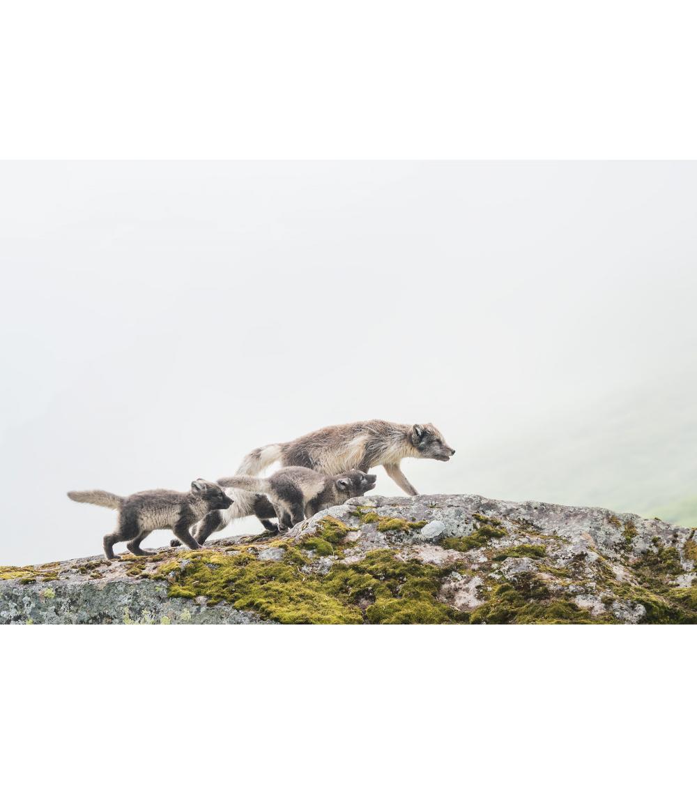 renards polaires d'Islande