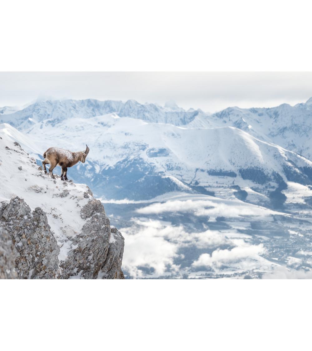Photo de bouquetin des alpes dans le Vercors