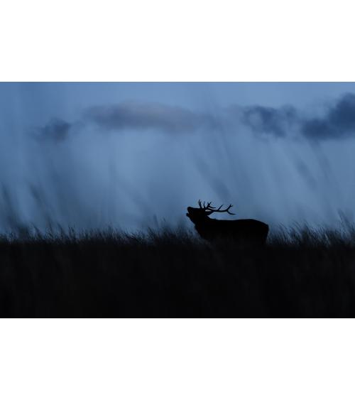 Photo de cerf rouge en Ecosse