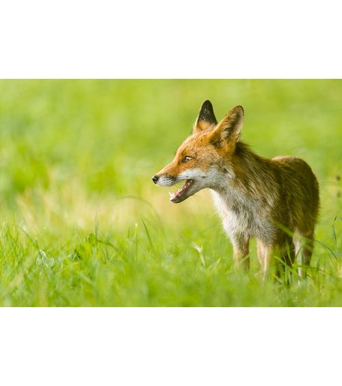 Cartes postales d'art renard roux