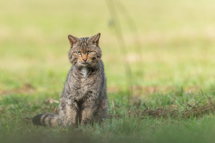 Chat sauvage d'Europe
