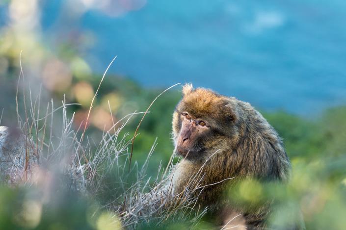 Macaque de Barbarie
