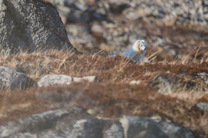 Renard polaire blanc