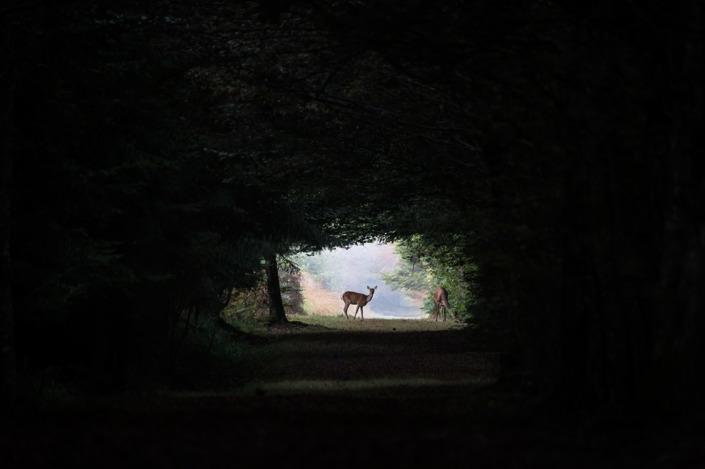Biche et faon en forêt