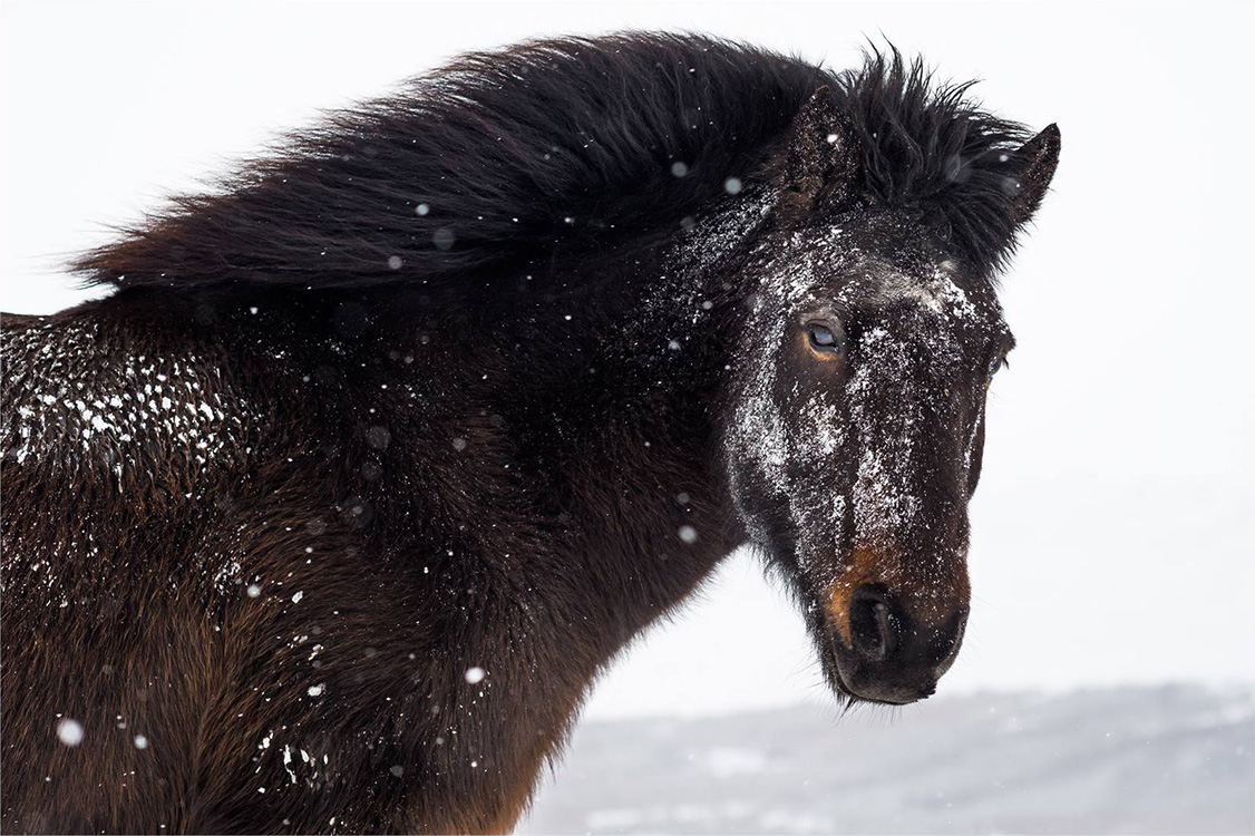 Ice mask for icelandic horse