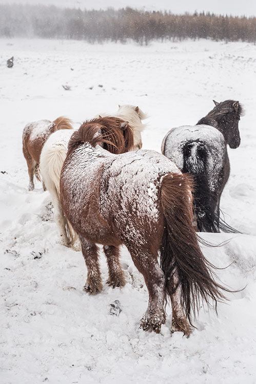 Icelandic horses after the storm