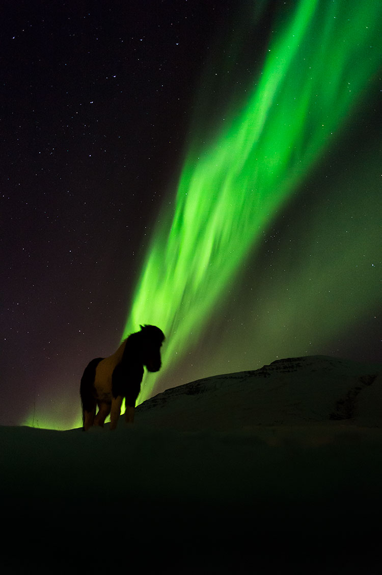 Icelandic horse and northern light