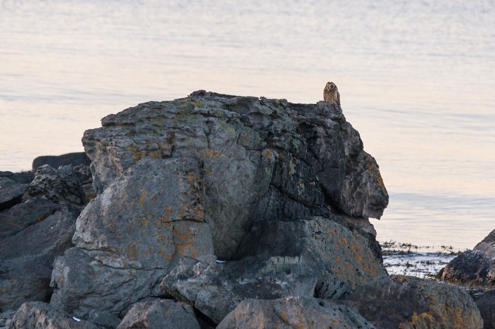 Le hibou des marais, hibou des fjords