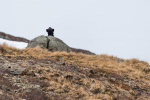 Grand corbeau dans les Westfjords